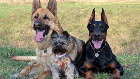 Psy - szczepienia przeciw wściekliźnie